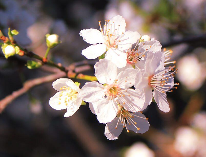 Aikido Blossoms
